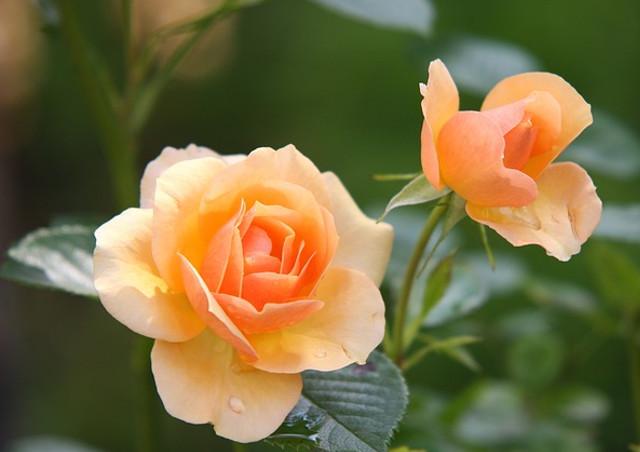 人気の花であるバラの品種がどのくらいあるの?