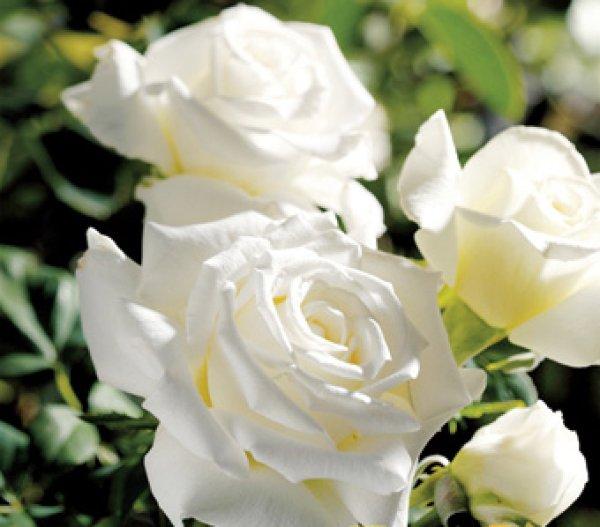 画像1: ヨハネパウロ2世【食用薔薇 裸苗】大輪・白薔薇・ティー香 食べられるバラ 食べる薔薇 送料無料 (1)