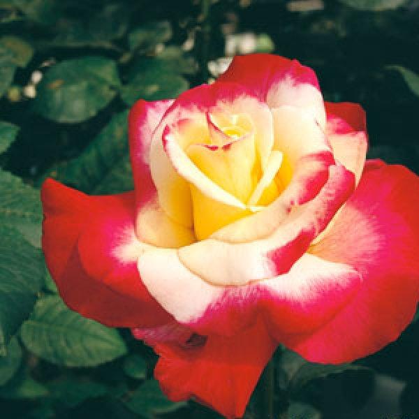 画像1: ダブルデイライト【食用薔薇苗】食べられるバラ 食べる薔薇 送料無料 (1)