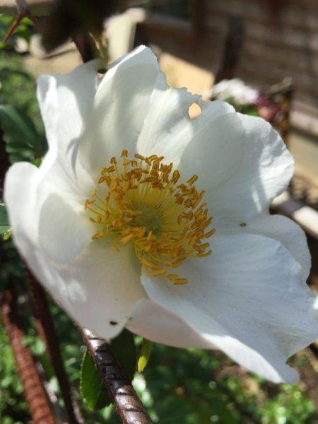 画像1: ナニワイバラ10.5センチポット苗【食用薔薇 とげなしツルバラ】食べられるバラ 食べる薔薇 送料無料 冬〜春お届け (1)