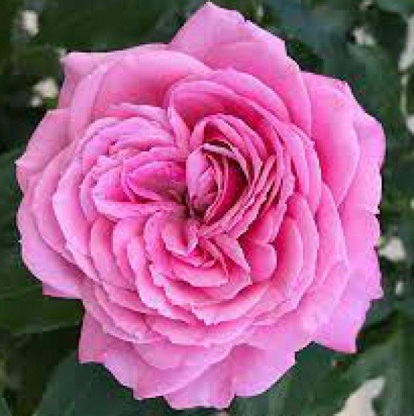 画像1: フューチャーパフューム【食用バラ】食べる薔薇 大輪・ピンク色・ダマスクローズ 送料無料【栽培地山形】 (1)