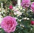 画像2: フューチャーパフューム【食用バラ】食べる薔薇 大輪・ピンク色・ダマスクローズ 送料無料【栽培地山形】 (2)