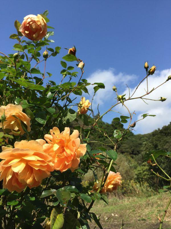 お茶やエイジングケアに役立つ商品をお探しなら【株式会社バラの学校】 | バラ園
