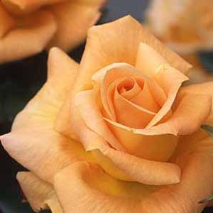 食用バラ「楽園」