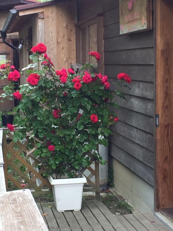食用薔薇のオベリスク