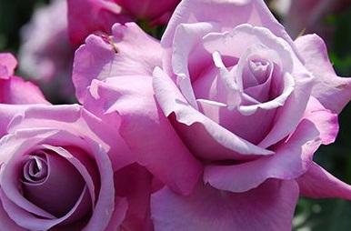 ローズリーフのお茶とエイジングケアに役立つ商品をお届け~食用バラの苗の種類も豊富~