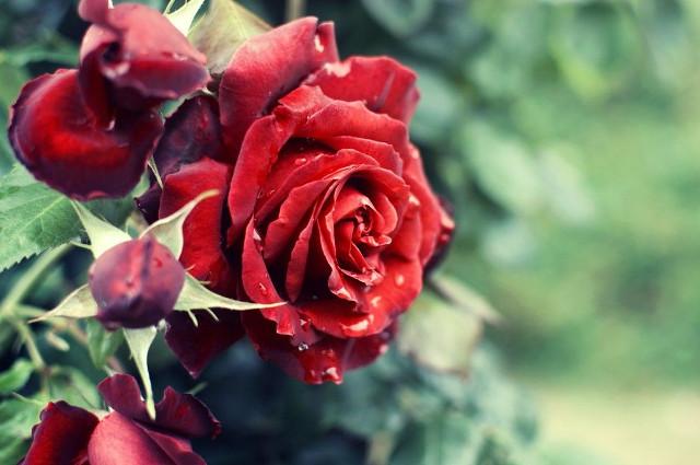 香りによる効果が嬉しいローズティーに使われるバラの種類