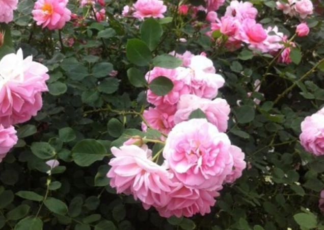 バラの造園だけではない【株式会社バラの学校】