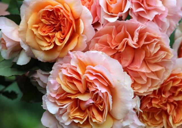 バラの造園を目指すなら【株式会社バラの学校】で手入れ・育て方を学びませんか?